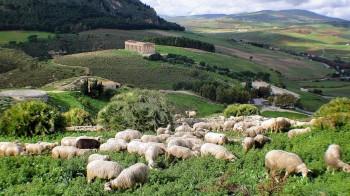 göteborg fårhjord