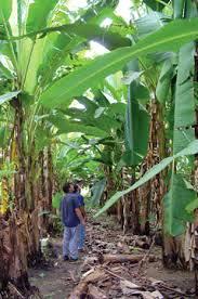 Hispaniola 12 bananplantage